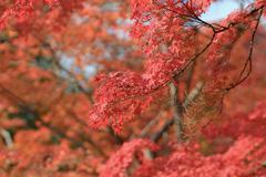 Autumn Leaves Of Jojakuko-ji Temple Stock Photos