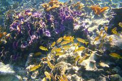coral caribbean reef Mayan Riviera Grunt fish - stock photo