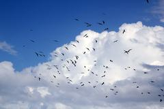 Stock Photo of frigate bird silhouette backlight breeding season