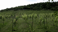 Prague Wine farm young vines 1 Stock Footage