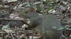 Azara's Agouti feeding on Nut in Pantanal in Brazil 1 Stock Footage