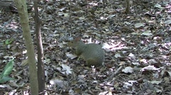 Azara's Agouti feeding on Nut in Pantanal in Brazil 2 Stock Footage