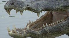 Yacare caiman lays in lake with open mouth showing teeth Stock Footage