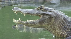 Yacare Caiman mouth close up in Pantanal in Brazil Stock Footage