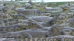 Caimans in lake in Pantanal in Brasil 3 Stock Footage