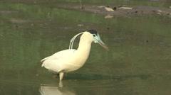 Cocoi Heron in Water in Pantanal in Brasil Stock Footage