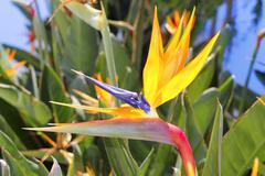 Genus strelitzia reginae orange bird flower Stock Photos
