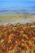 Colorful yellow red seaweed sea algae Stock Photos