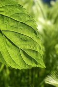 transparency mulberry leaf green nature macro - stock photo