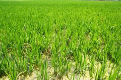 Agriculture rice field perspective in spain Valencia - stock photo