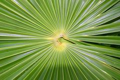 Chit Florida Thatch Palm THRINAX RADIATA Stock Photos