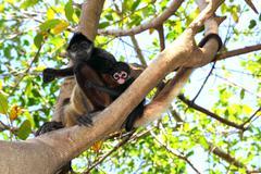 Ateles geoffroyi  Spider Monkey Central America - stock photo