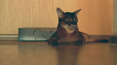 Abyssinian cat on the floor Stock Footage
