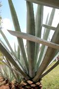 Stock Photo of Agave cactus tequilana plant for Mexican tequila