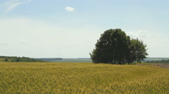 Lonely tree on a wheat field Stock Footage
