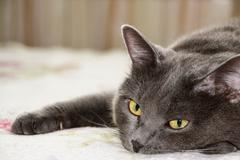 Closeup short hair gray cat - stock photo