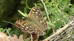 Speckled Wood Butterfly is sitting on fern with wings open and then closed - stock footage