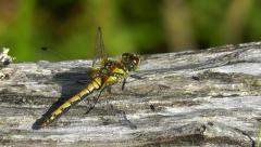 Female common darter dragonfly perched on the ground Stock Footage