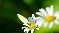 White butterfly on a flower Stock Footage