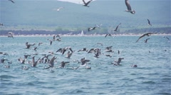 Flock of gulls fish in the sea and flying over the water in slow motion Stock Footage
