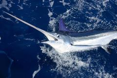 Beautiful white marlin real billfish sport fishing - stock photo