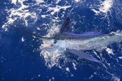 Beautiful white marlin real billfish sport fishing Stock Photos
