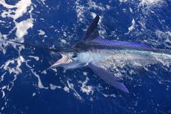 Atlantic white marlin big game sport fishing - stock photo