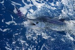 Atlantic white marlin big game sport fishing Stock Photos