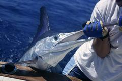 Billfish white Marlin catch and release on boat - stock photo