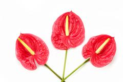 Anthurium exotic beautiful red flower still - stock photo