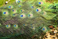 peacock turkey tail colorful green detail - stock photo