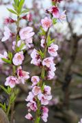 Almond spring flowers on tree branch Stock Photos