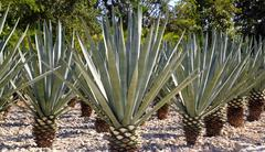 Stock Photo of Agave tequilana plant for Mexican tequila liquor