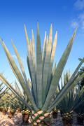 Agave tequilana plant for Mexican tequila liquor Stock Photos
