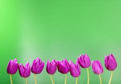 pink tulips flowers in a row group line arrangement - stock photo