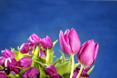 tulips pink flowers on blue studio background - stock photo