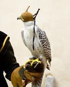 Falconry falcon rapacious bird in glove hand Stock Photos