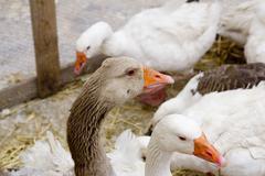 Goose bird white and brown in farmyard Stock Photos