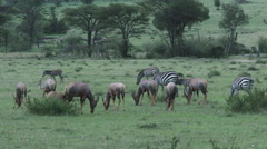 Herd of Topi (Damaliscus korrigum) and Zebra ( Equus quagga) Stock Footage