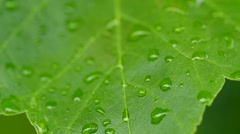 Slow motion water droplets on colorful leafs of a tree Stock Footage