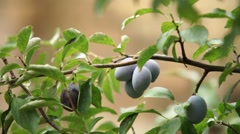 plum harvest backyard farming - stock footage