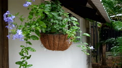 Flower Plumbago auriculata as a house decoration - stock footage