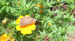 Butterfly on yellow sulfur cosmos flower in the field Stock Footage