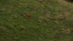 Female roe deer and her young in a meadow Stock Footage