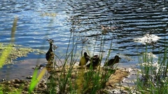 Duck with ducklings ashore. - stock footage