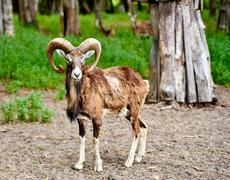 Ibex the wild mountain goat with amazing horns - stock photo