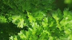 Green parsley. Macro Stock Footage