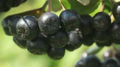 Black Chokeberry (Aronia melanocarpa) Stock Footage