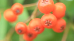 Ripe rowan fruits on the tree, Sorbus aucuparia - stock footage