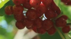Red Viburnum berries in the tree - stock footage
